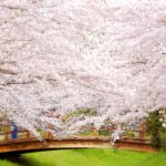 Sakura! 桜! さくら!