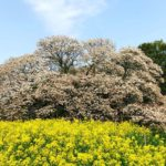 My Favorite Cherry Blossoms – Large Cherry Tree Of Yoshitaka