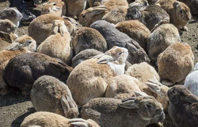 Rabbit Island Is Real In Japan That Has 700 Rabbits!!